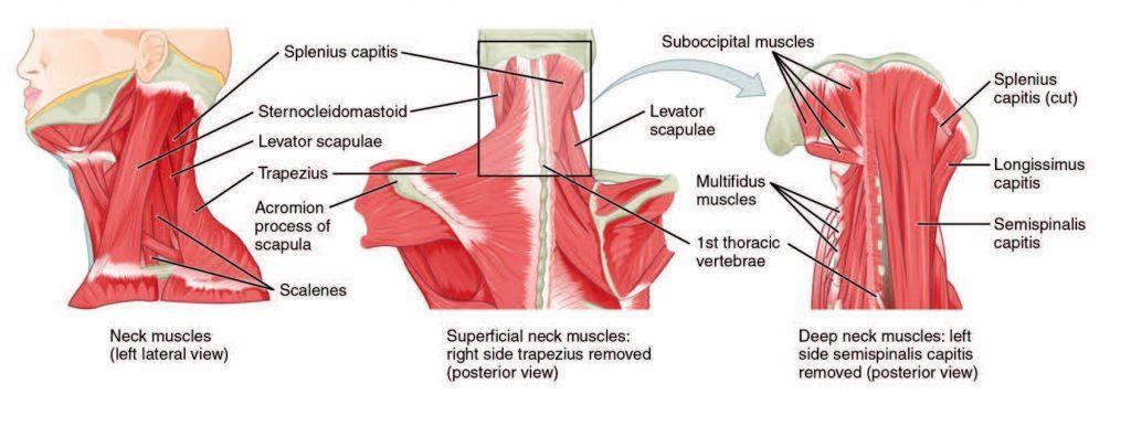 Gimdos kaklelio raumenys Diagrama ChiropractorElPaso