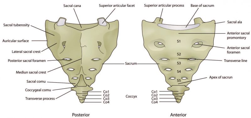 Structure of the Sacrum Diagram - El Paso Chiropractor