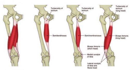 Anatomía del tendón de la corva - El Paso Chiropractor