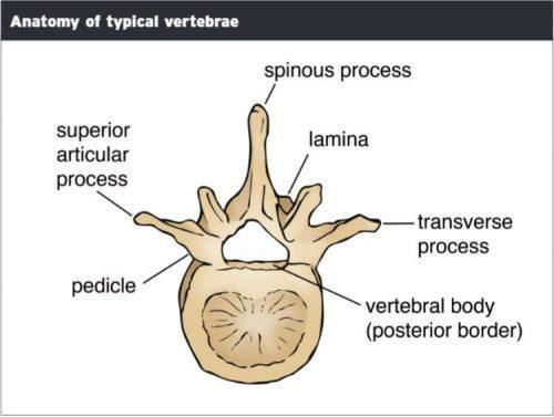 Anatomi Vertebra Tipis - Chiropractor El Paso