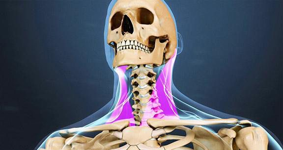 blog picture of skeleton front and muscles & tendons around the neck