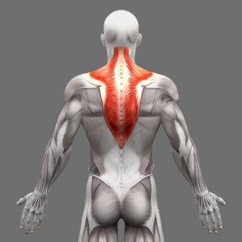 11860 Vista Del Sol, Ste. 126 The Muscles That Move and Support The Spine El Paso, TX.