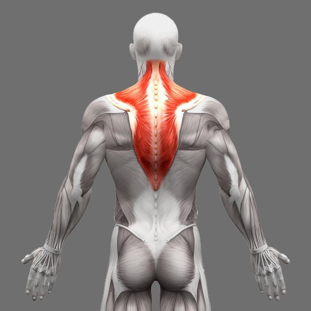 stock photo muscoli trapezi anatomia isolati su bianco d illustrazione