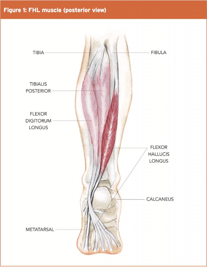 Flexor Hallucis Longus: The Achilles Of The Foot