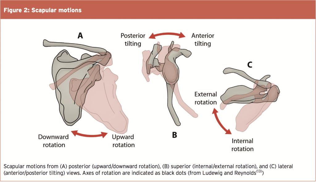 Lower Trapezius: Scapula Control