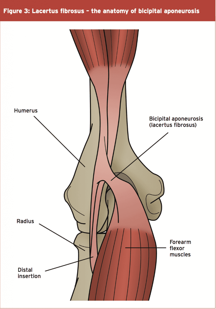 Contemporary Bicep Tendon Anatomy Composition - Human Anatomy Images ...