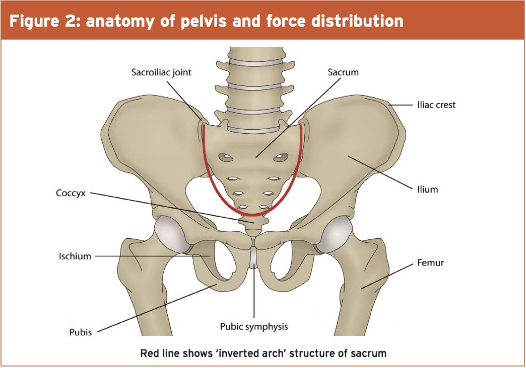 Anatomy of pelvic