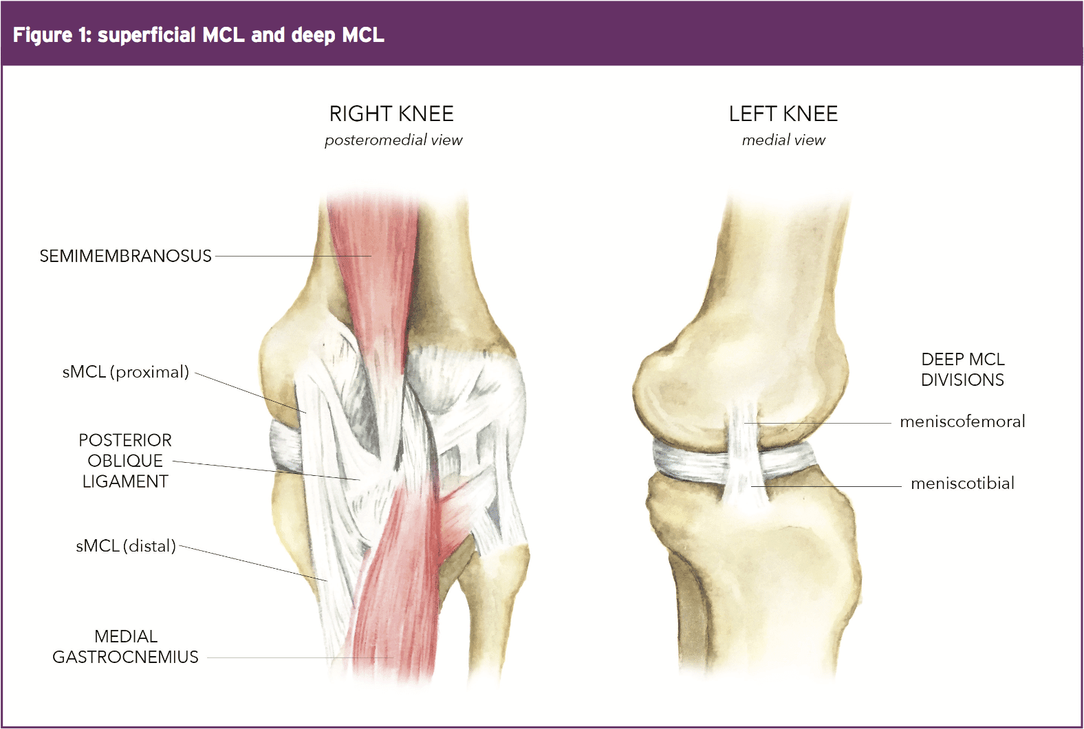 MCL: Anatomy, Biomechanics & Injury Science