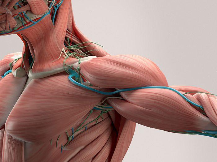 human anatomy shoulder muscle arteries
