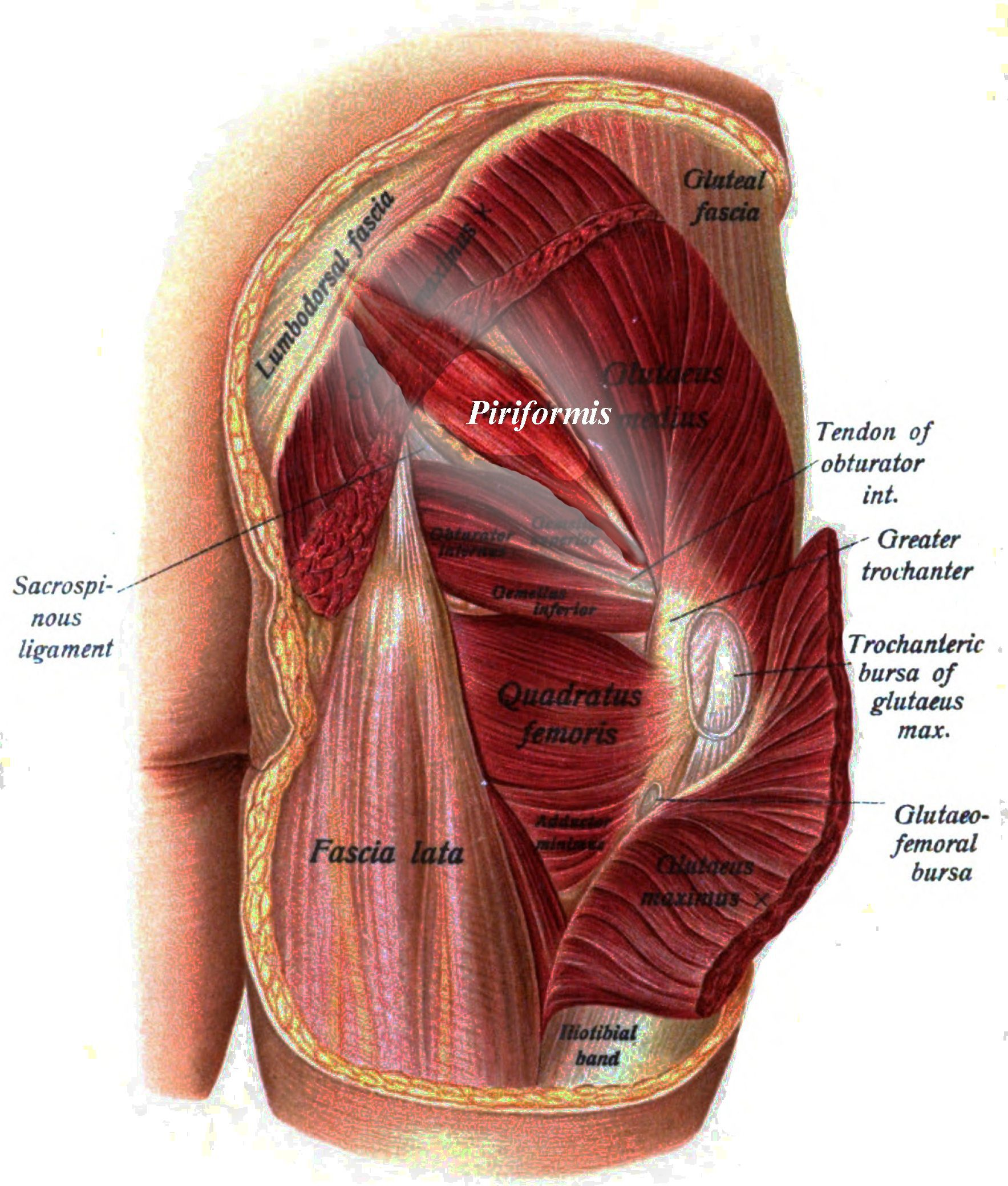 Causes of Piriformis Syndrome Piriformis muscle