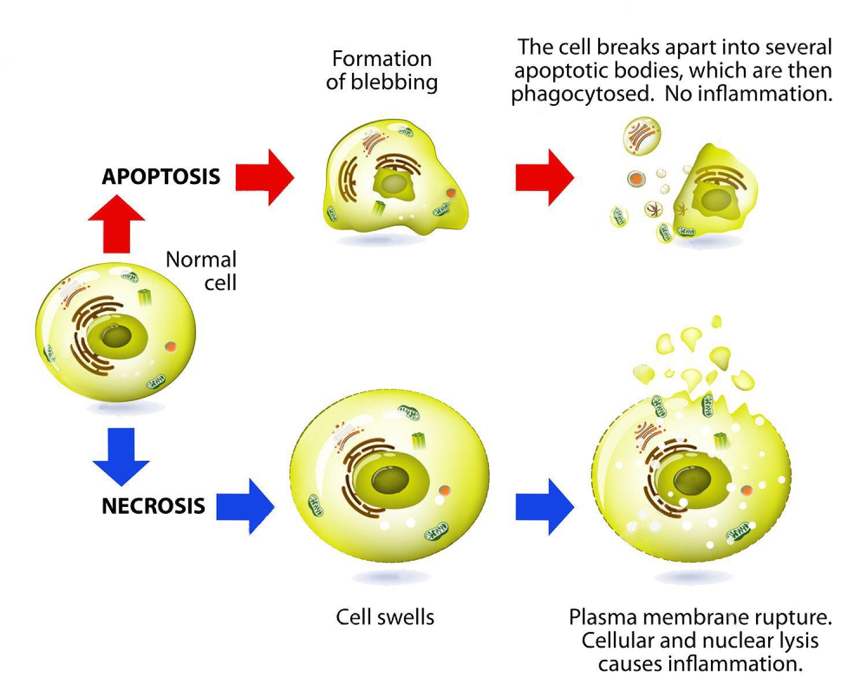 necrose funcional da apoptose medicamentosa