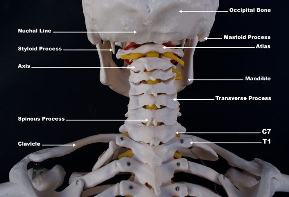 whiplash occiptal_atlast_axis_craniovertebral anatomia