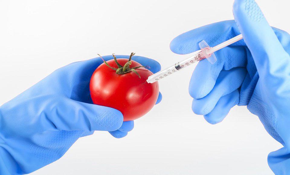 ГМ помидор