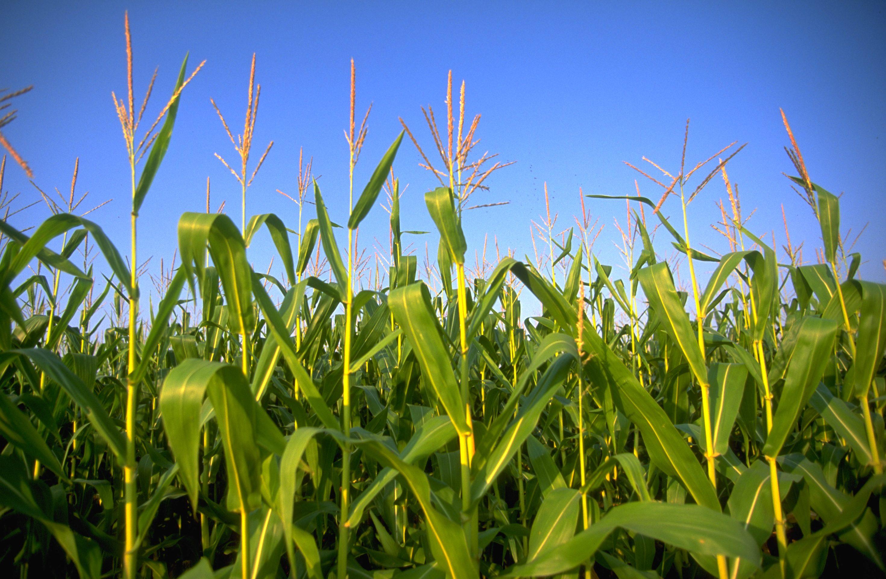 gmos crops