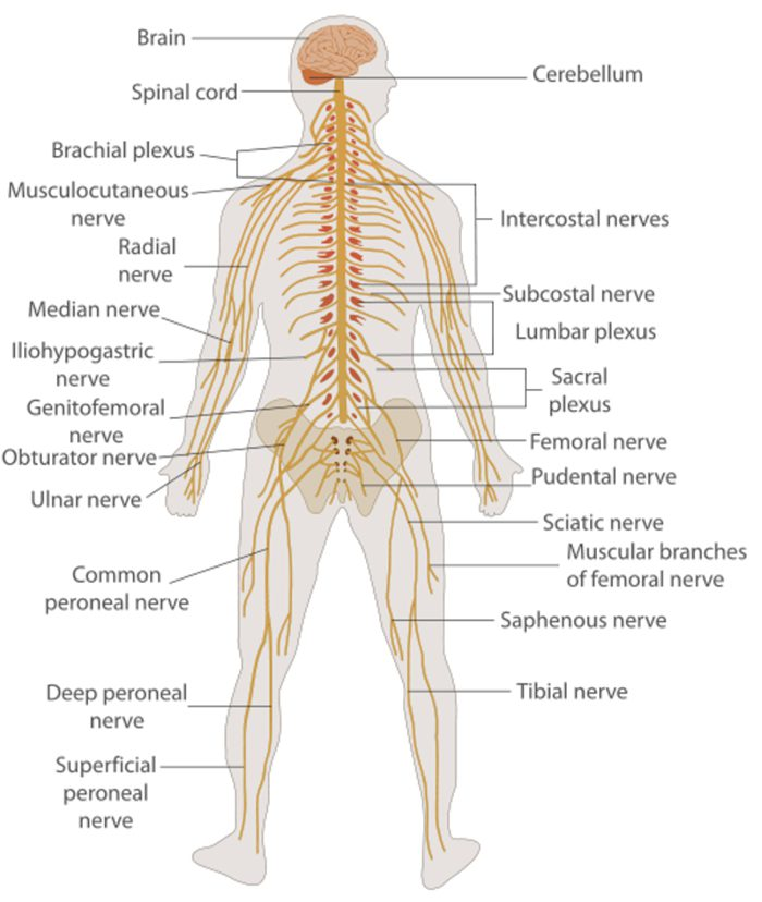 the nervous system and chiropractic el paso tx.