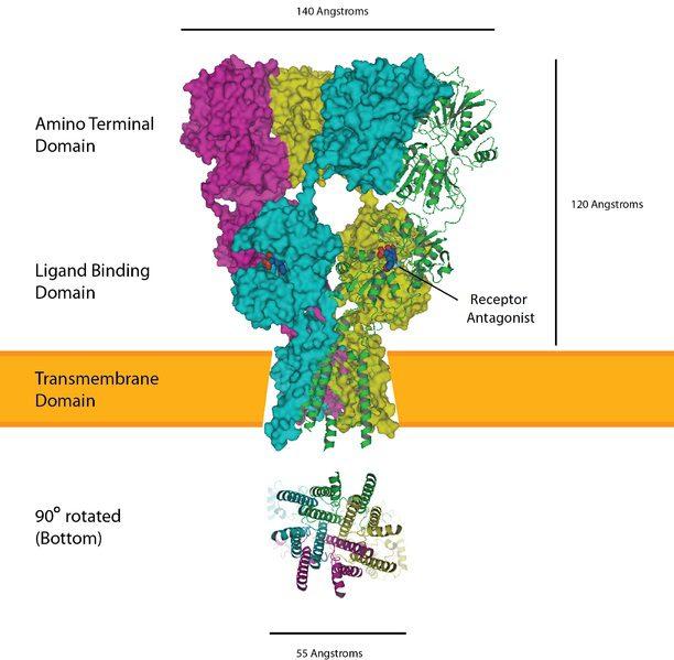 AMPA Receptors Figure 1 | El Paso, TX Chiropractor