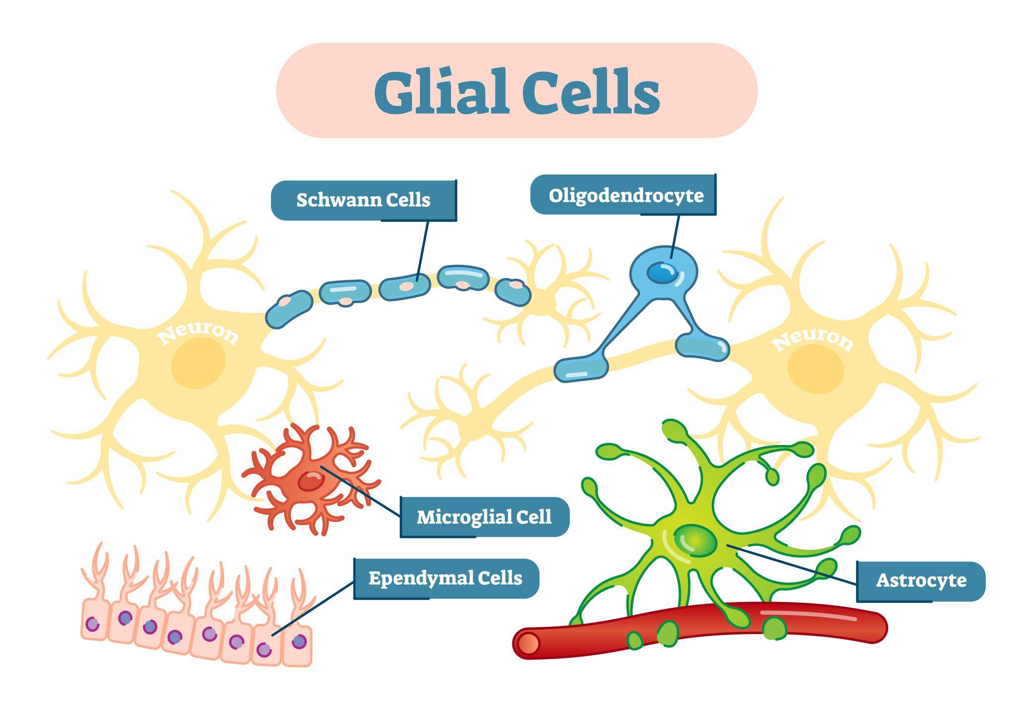 Glial Cells Diagram | El Paso, TX Chiropractor