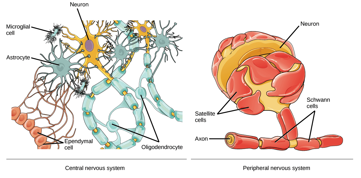 Neuron and Glial Cell Diagram | El Paso, TX Chiropractor