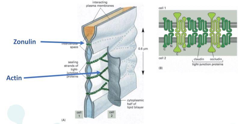 Struttura cellulare di actina