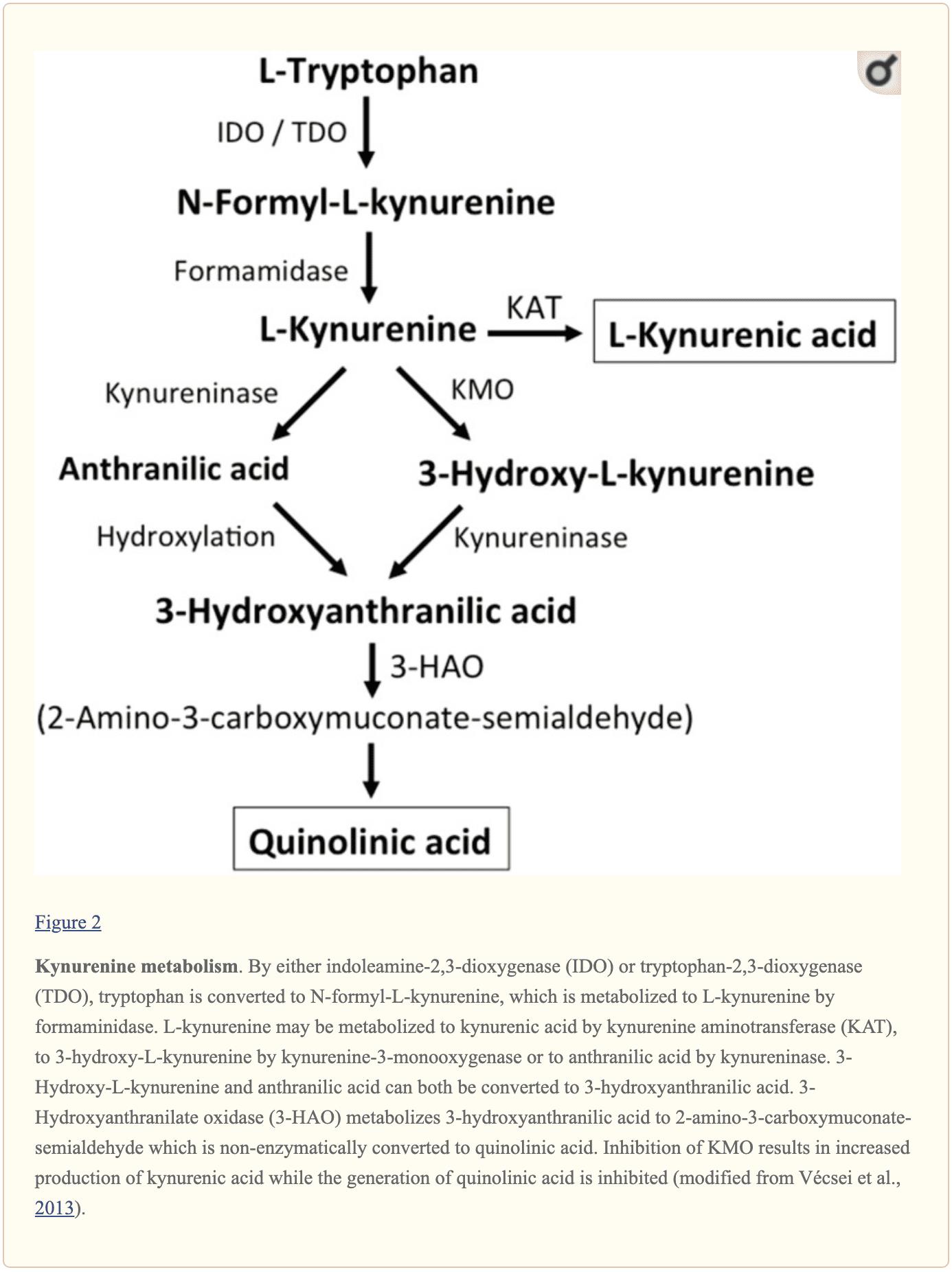 Figura 2 Metabolismo della cinurenina | Chiropratico El Paso, TX