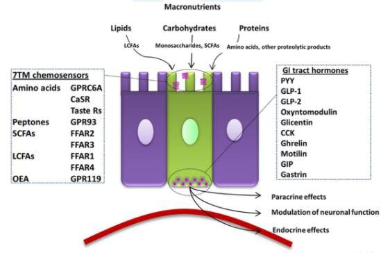 células enteroedócrinas