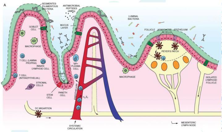 Mucosa
